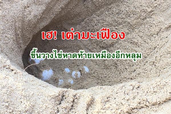 เฮ! พบเต่ามะเฟืองขึ้นวางไข่หาดท้ายเหมือง จ.พังงา อีกหลุม เกือบ 100 ฟอง