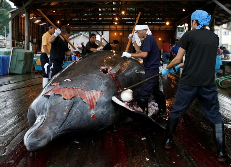 ตามคาด! ญี่ปุ่นประกาศถอนตัวจาก 'คกก.ล่าวาฬระหว่างประเทศ' เปิดทางล่าเชิงพาณิชย์ในปีหน้า