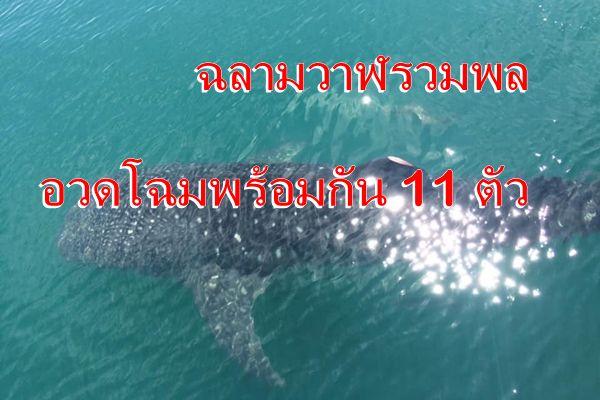 สุดตื่นเต้น ฉลามวาฬ บุกเกาะยาวน้อย จ.พังงาว่ายน้ำอวดโฉมพร้อมกัน 11 ตัว