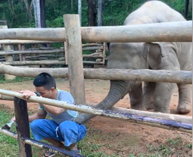 หนุ่มนั่งทาสีคอก เจอช้างน้อยป่วนเอางวงคล้องคอ จะชวนเล่นท่าเดียว  (ชมคลิป)