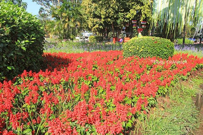 แปลงดอกไม้สีแดงงามเด่น
