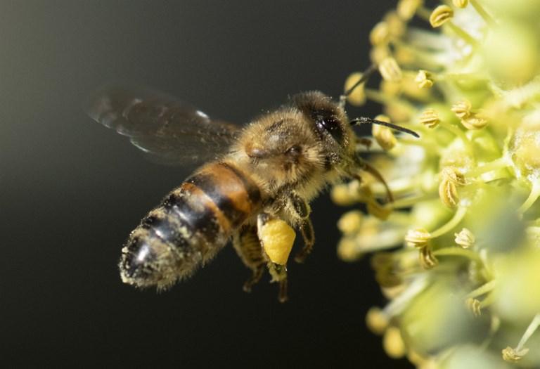 การที่ผึ้งลดจำนวน กระทบต่อปริมาณผลผลิตทางการเกษตรด้วย (THOMAS KIENZLE / AFP)