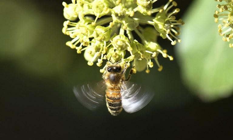 การที่ผึ้งลดจำนวน กระทบต่อปริมาณผลผลิตทางการเกษตรด้วย (THOMAS KIENZLE / AFP) แก้ไขคำบรรยายภาพ