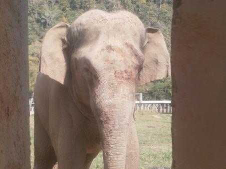 """สยอง!""""ช้างสีดอโฮป""""ปางช้างดังเชียงใหม่ตกมัน กระทืบควาญชาวกะเหรี่ยงอวัยวะกระจายดับคาที่"""