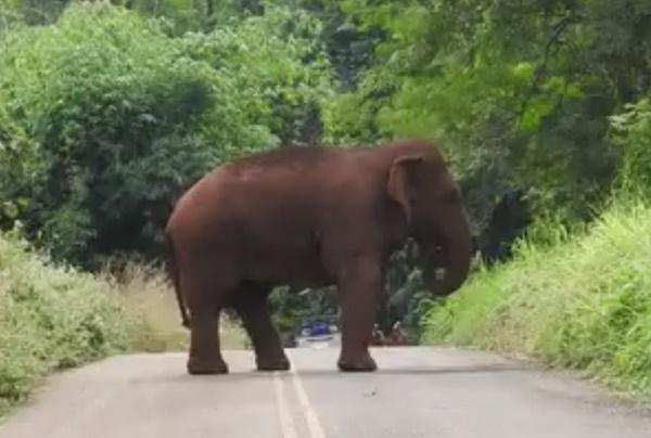 """""""เจ้าหูรู"""" ช้างป่าทองผาภูมิ พฤติกรรมเปลี่ยนไป ไม่กลัวมนุษย์"""