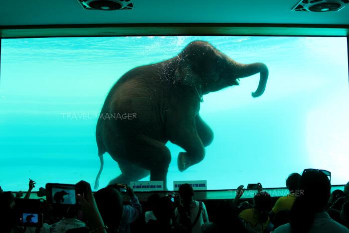 การแสดงช้างว่ายน้ำ