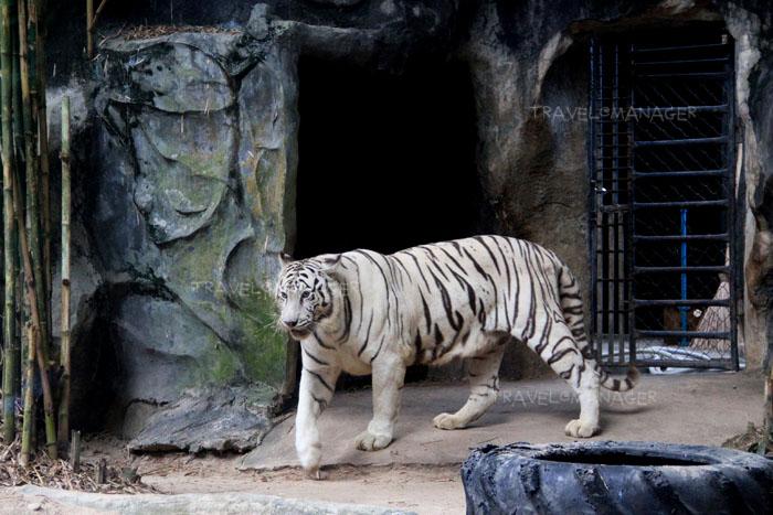 เสือโคร่งขาว