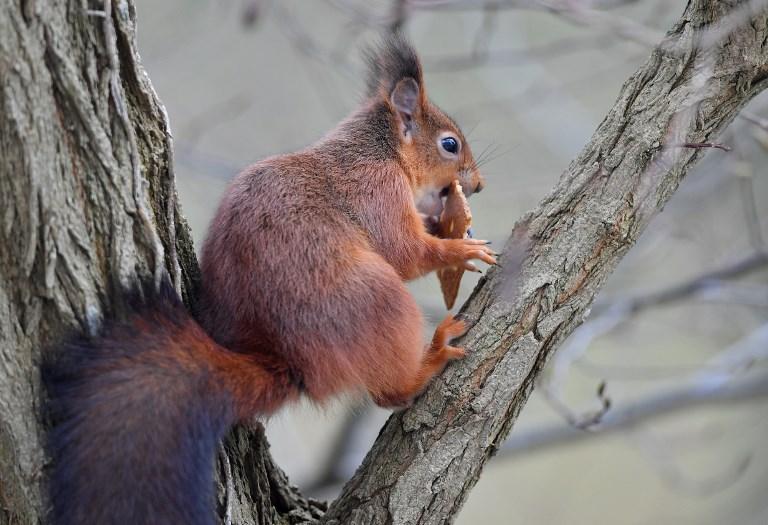 ภาพกระรอกแดง (red squirrel) กินขนมปังบิสกิตในสวนสาธารณะที่กรุงบรัสเซลส์ เบลเยียม เมื่อ 3 ม.ค.2019 (EMMANUEL DUNAND / AFP)