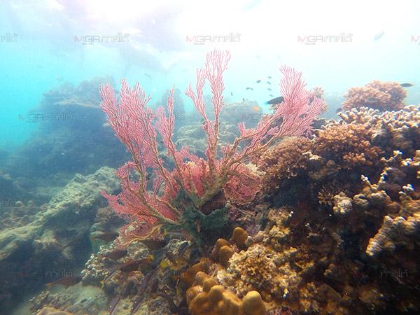 """หนุ่ม บ.นำเที่ยวทะเลตรังดำน้ำสำรวจ """"เกาะแหวน"""" พบแหล่งปะการังสุดสวย"""