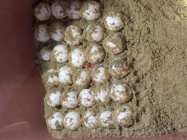 เร่งย้ายไข่หลังแม่เต่ามะเฟืองกลับมาวางไข่เป็นรอบที่ 2 ที่หาดคึกคักอีก 112 ฟอง