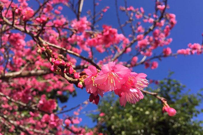 ต้นซากุระพันธุ์จากประเทศญี่ปุ่นที่อ่างขาง(ภาพจากสถานีเกษตรหลวงอ่างขาง แฟ้มภาพ)