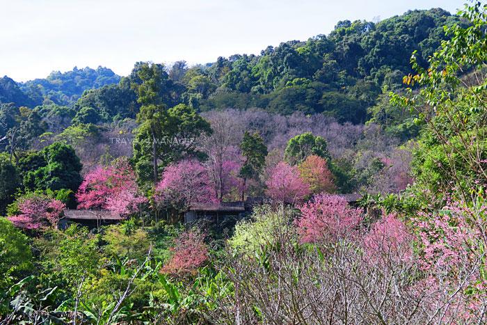 ผืนป่าแต่งแต้มด้วยสีชมพูที่ขุนช่างเคี่ยน(แฟ้มภาพ)