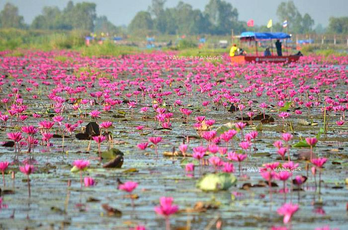 ดอกบัวสีชมพูสดใส (แฟ้มภาพ)