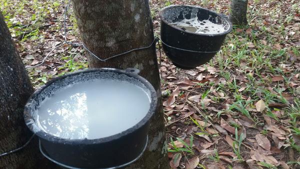 เข่าแทบทรุด  ! ฝนหลงฤดูทำอากาศน่านลดฮวบชาวสวนยางพาราเจอแต่น้ำฝนในถ้วยน้ำยาง