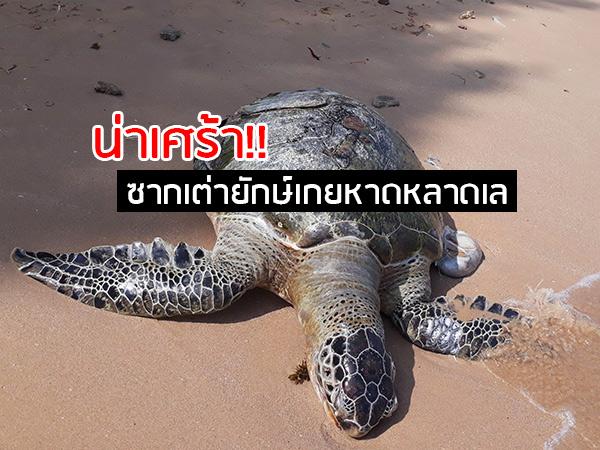 """เศร้า! พบซาก """"เต่าตนุ"""" ตัวยักษ์ลอยอืดเกยชายหาดหลาดเล จ.ชุมพร คาดตายเพราะพายุปาบึก"""