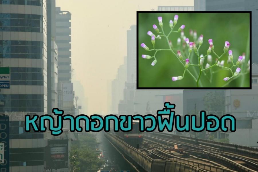 """ชู """"หญ้าดอกขาว"""" ช่วยฟื้นปอด ลดผลกระทบฝุ่น PM2.5"""