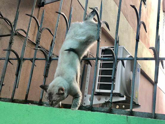 กู้ภัยช่วยเหลือแมวถูกเหล็กแหลมแทงขาห้อยต่องแต่งติดคารั้ว