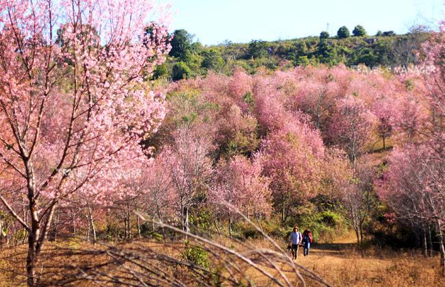 เส้นทางสีชมพูจากดอกนางพญาเสือโคร่งเบ่งบาน ณ ภูลมโล