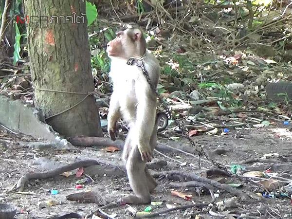 ชาวบ้านวอนช่วยลิงถูกล่ามทิ้งไว้หลังหมู่บ้านไทยสมุทรในเขตเทศบาลนครตรัง