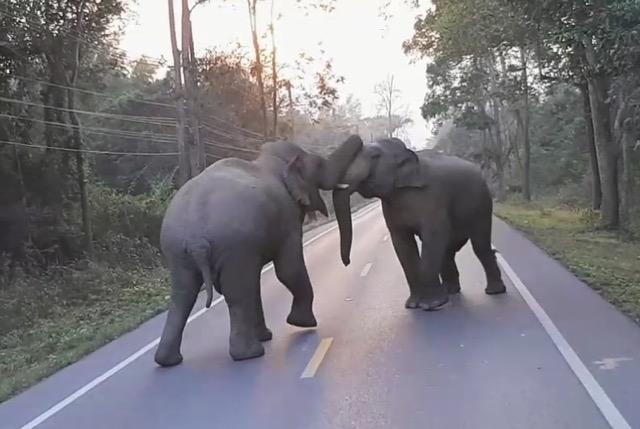 เปิดศึก ! ช้างชนกันบนถนนสายป่าละอู เพื่อแย่งชิงพื้นที่อยู่อาศัย