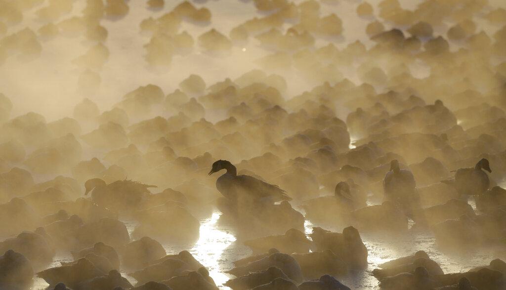 <i>ฝูงห่านเบียดเสียดกันในน้ำ ขณะอาทิตย์ขึ้นที่บริเวณท่าเรือในเมืองพอร์ตวอชิงตัน รัฐวิสคอนซิน เมื่อวันพุธ (30 ม.ค.) </i>