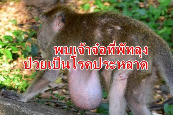 พบลิงกว่า 10 ตัวที่พัทลุงป่วยเป็นโรคประหลาด มีถุงเนื้องอกบริเวณหน้าอก