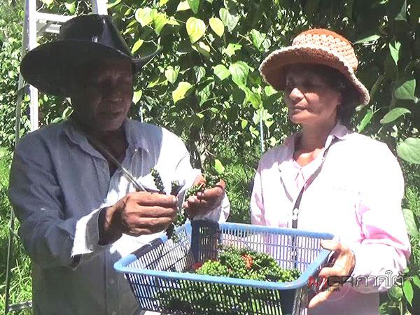 โค่นยางปลูกพริกไทยแค่ 1 ไร่ เกษตรกรตรังได้เงินปีละ 3 แสน