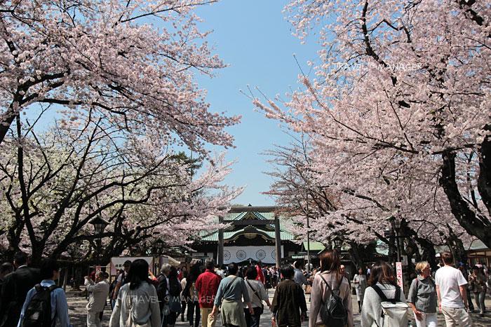 ต้นซากุระบริเวณทางเดินเข้าสู่ศาลเจ้ายาสุคุนิ