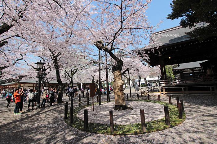 ต้นซากุระมาตรฐานโตเกียวที่ศาลเจ้ายาสุคุนิ