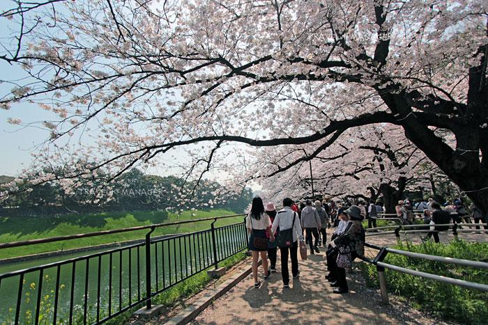 ซากุระแผ่กิ่งก้านบริเวณทางเดินที่ชิโดริงะฟุชิ