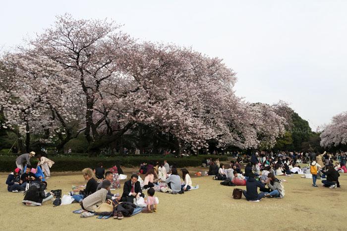 ชมซากุระที่สวนชินจูกุ