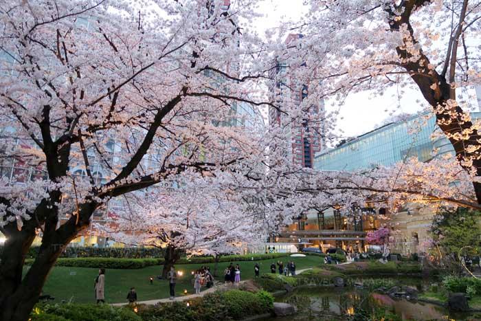 จุดชมซากุระที่สวนโมริเทเอน ย่านรปปงงิ