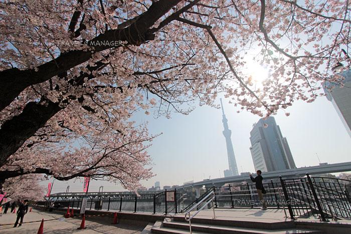 ชมซากุระริมแม่น้ำสุมิดะ พร้อมกับชมโตเกียวทาวเวอร์ไปด้วย