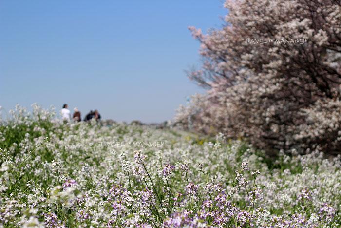 ดอก Japanese wild radish สีขาวอมม่วงบานเสริมความงามให้ซากุระ
