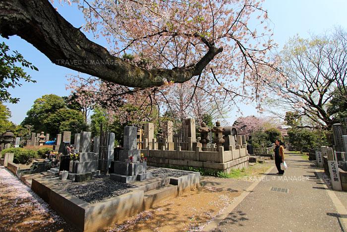 อีกหนึ่งจุดชมซากุระที่สวยงามและได้ความเป็นญี่ปุ่นมากๆ