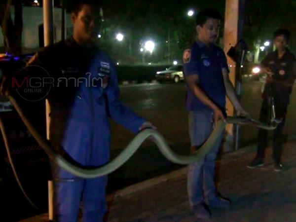 กู้ภัยตรังเข้าจับงูจงอางหนีร้อนข้ามถนนก่อนถูกรถนักท่องเที่ยวเหยียบบาดเจ็บ