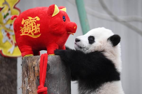 แพนด้ายักษ์เล่นตุ๊กตาหมูระหว่างอีเวนท์ฉลองตรุษจีนที่ศูนย์วิจัยและเพาะพันธุ์แพนด้ายักษ์ในอั่วหลง มณฑลเสฉวน (ภาพ รอยเตอร์ส)