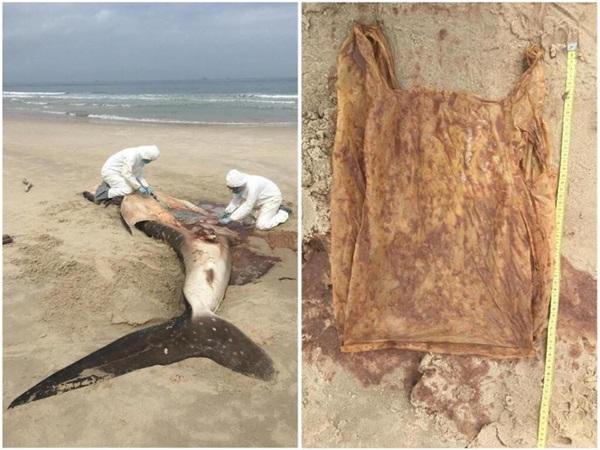 เศร้าอีก! ขยะพลาสติก ปลิดชีพฉลามวาฬที่มาเลเซีย