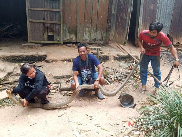 ผงะ ! งูจงอาจยักษ์พุ่งฉก ชาวสวนยางเบตงกระโดดหลบ เรียก จนท.กู้ภัยช่วยจับ