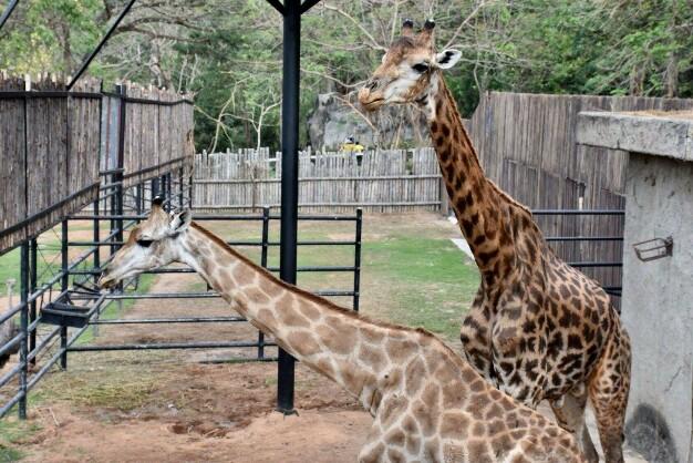 """คู่รักยีราฟ """"ตาหวาน-บินลาเดน"""" โชว์ตัวรับวาเลนไทน์ ที่สวนสัตว์เปิดเขาเขียว จ.ชลบุรี"""