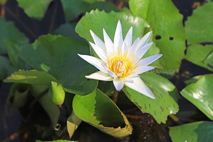 ดอกบัวสีขาวสวยงาม