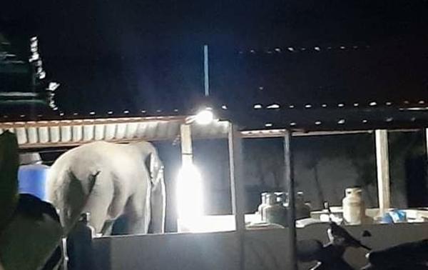 ช้างป่ายังบุกหากินใน อ.หนองใหญ่ จ.ชลบุรีต่อเนื่อง ล่าสุดยาย-หลานวิ่งหนีตายกลางดึก