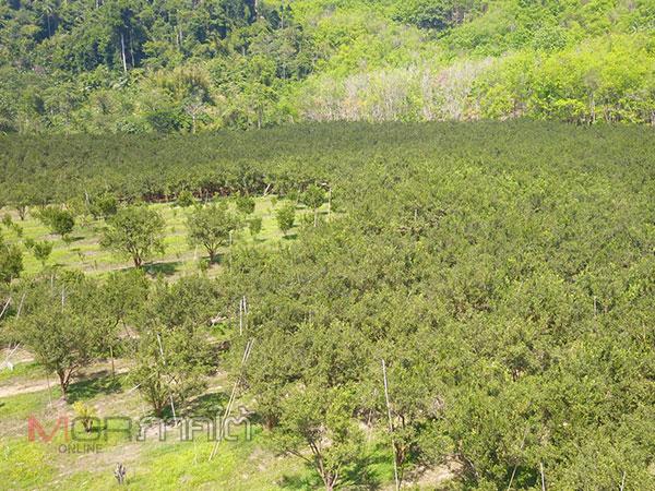 หน่วยพญาเสือบุกยึดคืนแผ่นดินบริเวณป่าหลุมพอ ผงะ! พบนายทุนบุกรุก 91 ไร่ปลูกส้มโชกุน
