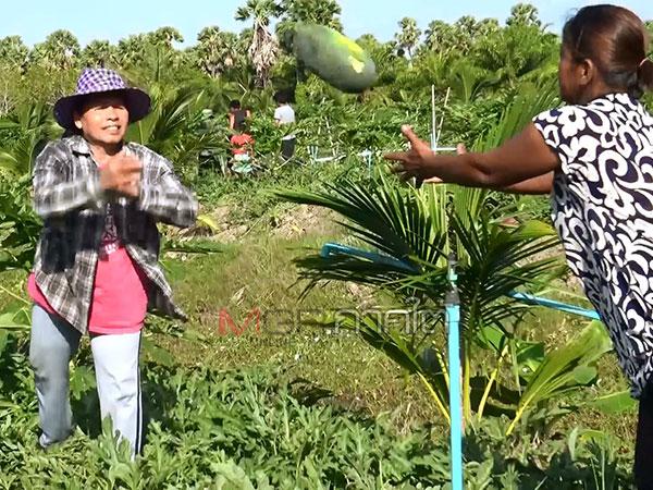 เฮ! เกษตรสงขลาปลูกแตงโม 8 ไร่แซมแปลงมะละกอเก็บขายรับเงินแสน