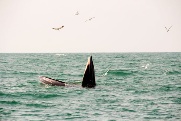 นักท่องเที่ยวตื่นเต้น?!! พบวาฬบรูด้า 2 ตัว โผล่กินฝูงลูกปลาในทะเลสามร้อยยอด