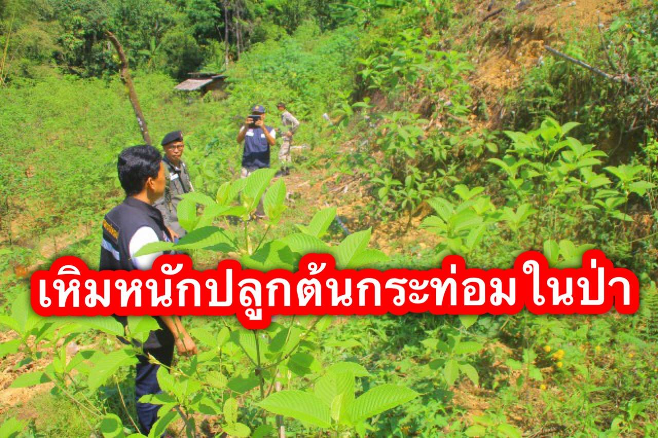 พังงาสนธิกำลังบุกจับแหล่งปลูกมบกระท่อม 500 กว่าต้นในพื้นที่ป่า