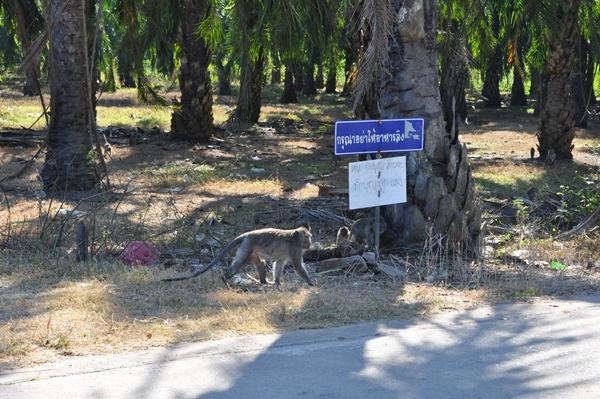 ชาวบ้านพุนพินสุดทน! ฝูงลิงแสมกว่า 400 ตัว บุกยึดสวนผลไม้ ทำลายทรัพย์สิน ภาครัฐขาดงบขนย้าย