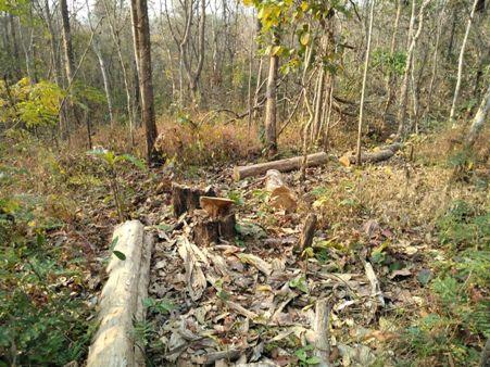 อึ้ง!ทหารพรานลาดตระเวนดับไฟป่าลำพูน เจอต้นสัก-ประดู่ถูกตัดเหี้ยนเหลือแต่ตอนับร้อย