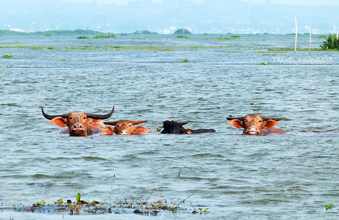 ควายน้ำ อะเมซิ่งควายไทยที่สามารถปรับตัวในการหากินได้อย่างดีเยี่ยม