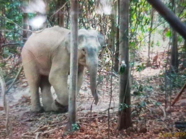 พบช้างป่าเพศผู้ได้รับบาดเจ็บบริเวณข้อเท้าจนเป็นแผลเน่า  ในสวนชาวบ้าน จ.ระยอง